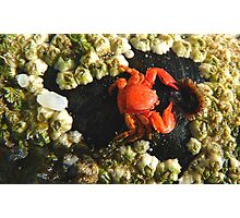 Aww!! My Dinner Plate Is Empty!! - Tiny Crab - NZ Photographic Print