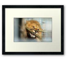 Boy Oh Boy Teething Is A Pain!! - Lion Cub - Orana Wildlife Park - CHC NZ Framed Print