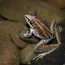 rocket frog by col hellmuth