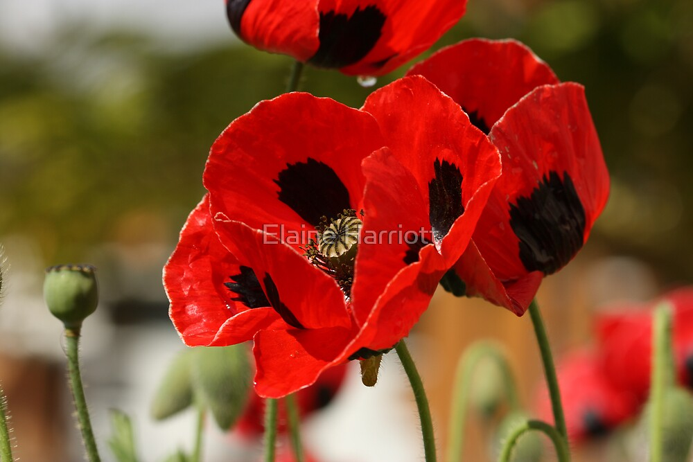 Dancing Poppies by Elaine Harriott