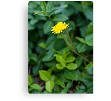 A Dandelion in the Spring Canvas Print