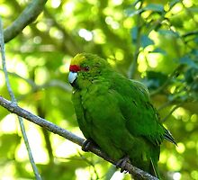 Balance & Harmony! - Yellow Headed Kakariki - Orana Wildlife Park CHC NZ by AndreaEL