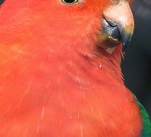 I Got A Twinkle In My Eye! King Parrot - Gore Gardens NZ by AndreaEL