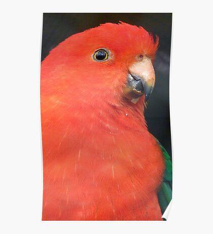 I Got A Twinkle In My Eye! King Parrot - Gore Gardens NZ Poster