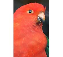 I Got A Twinkle In My Eye! King Parrot - Gore Gardens NZ Photographic Print