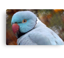What You Looking At! - Blue Ringneck Parrot -  Canvas Print