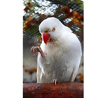 I Tell You, It Was This Small - Indian Ringneck Parrot - Gore Gardens Photographic Print