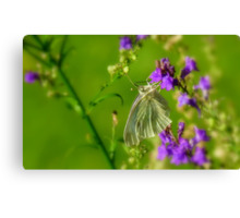 Tropical Nectar! - Cabbage Butterfly! - Southland NZ Canvas Print