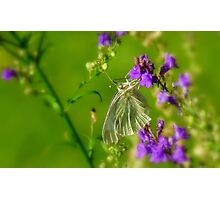 Tropical Nectar! - Cabbage Butterfly! - Southland NZ Photographic Print