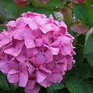 Sweet Melancholy - Autumn Hydrangea with Raindrops by MidnightMelody
