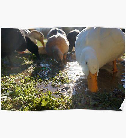 Ducks Love Puddles Poster
