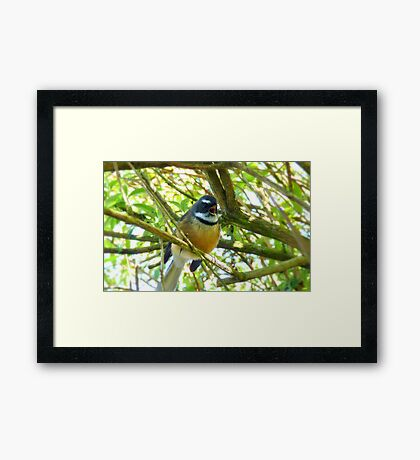 I'll Sing You A Song! - Fantail - New Zealand Framed Print