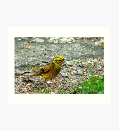 Meager Pickings Here! Yellowhammer- Southland NZ Art Print