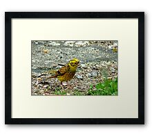 Meager Pickings Here! Yellowhammer- Southland NZ Framed Print