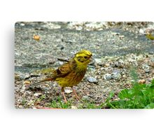 Meager Pickings Here! Yellowhammer- Southland NZ Canvas Print