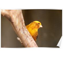 Tweety Bird! - Canary - Southland NZ Poster