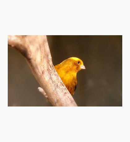Tweety Bird! - Canary - Southland NZ Photographic Print