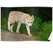 Arctic Wolf Pup on Rock Poster