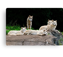 Arctic Wolf Pack Canvas Print