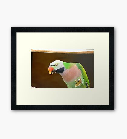 Would You Like A Bite? - Moustached Parakeet - NZ  Framed Print