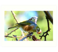 YUK!! This Berry Tastes Off!! - Silvereye - Gore NZ Art Print