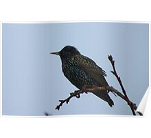 A Star In The Mist! - Starling - Southland NZ Poster