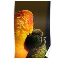 I Love Sunshine!!! - Conures Preening - NZ Poster