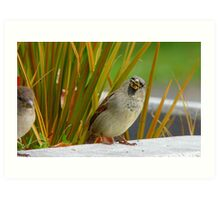 Down The Hatch She Goes! - House Sparrow NZ Art Print