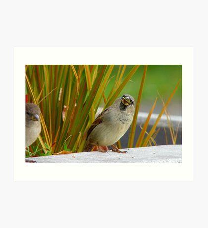 Down The Hatch She Goes! - House Sparrow NZ Art Print