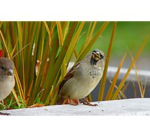 Down The Hatch She Goes! - House Sparrow NZ Photographic Print