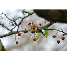 Desperate Measures! - Goldfinch Eating Berries - NZ Southland Photographic Print