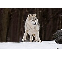 Arctic Wolf in Snow Photographic Print