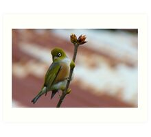 Hey, I'll Pose For A Painting! - Silver-Eye - NZ - Southland Art Print