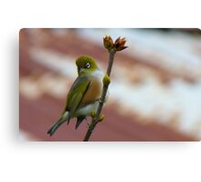Hey, I'll Pose For A Painting! - Silver-Eye - NZ - Southland Canvas Print
