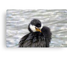 I Have An Attitude, Beware! - Pied Cormorant/Shag - NZ Canvas Print