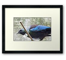 I Have A Feathred Scarf! - Tui - NZ Southland Framed Print