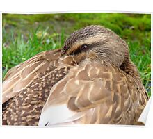 Hey!! I'm Trying To Take A Nana Nap Here! - Mallard Duck - NZ Poster
