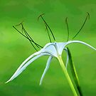 THE SPIDER LILY by Magriet Meintjes
