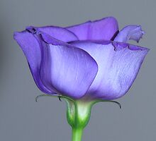 Purple Lisianthus 01 by Sharon Perrett
