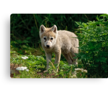 Arctic Wolf Pup - Update Canvas Print