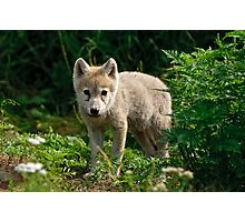 Arctic Wolf Pup - Update Photographic Print