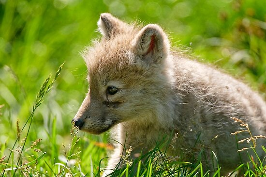 Just smelling the flowers _ Arctic Wolf Pup by Michael Cummings
