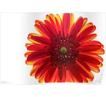 Red and Yellow Macro Daisy Poster
