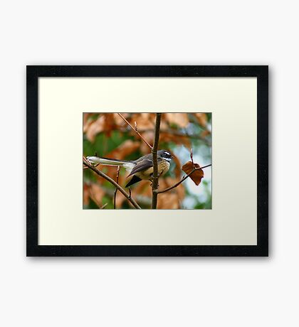 Poetry In Motion - Fantail - NZ Framed Print