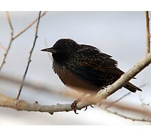 European Starling - Nonmating Colors Photographic Print
