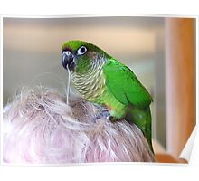 "*""Hair"" We Go Again..* - Maroon-Bellied Conure - NZ Poster"