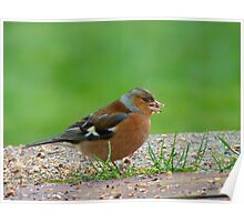 The Tiny Seed - Where Shall I Plant It? - Chaffinch - NZ Poster