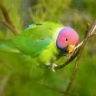 Did You Know I'm A Plum Head?!! - Plum-Headed Parakeet -NZ Dunedin by AndreaEL