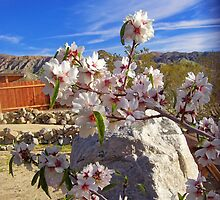 almond blossoms in the valley by cher