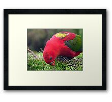 I Love Eating My Greens! - Chattering Lory - Otago NZ Framed Print